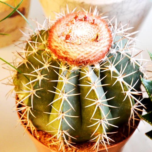 Kaktusas Melocactus Amoenus